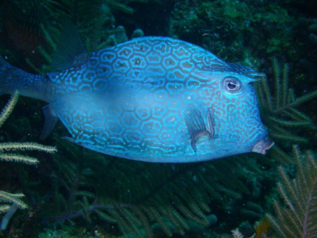Large patterned fish